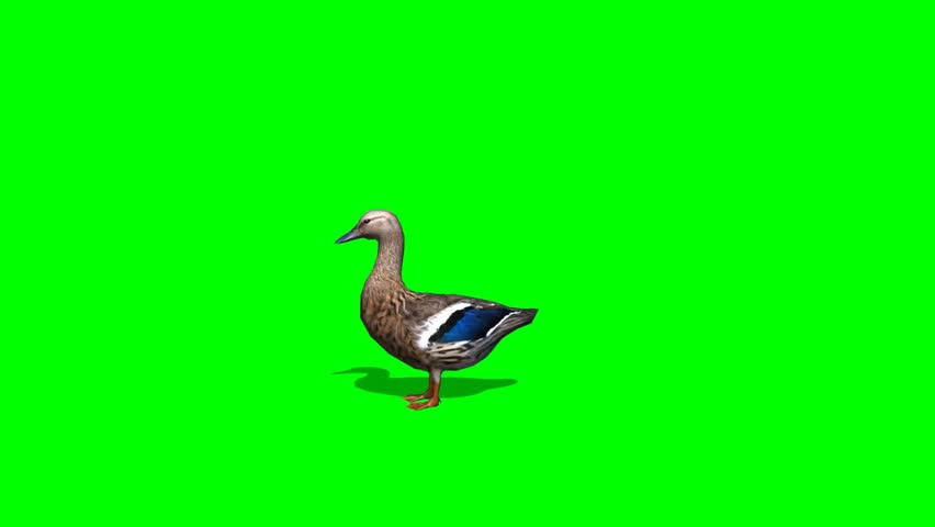 Duck Female walk - seperated on green screen #5427905