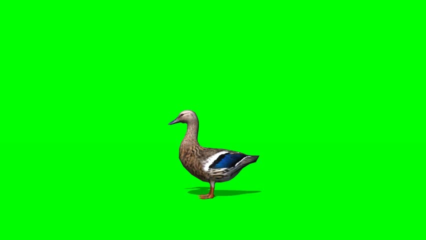 Duck Female - seperated on green screen #5427935