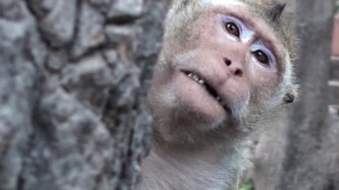 A Long-tailed Macaque (Macaca fascicularis), also known as Crab-eating Macaque Monkey, acts in a very strange way. It seems to be mimicking human speech.