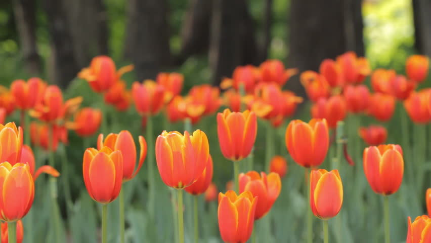 Tulips in the park - HD stock footage clip
