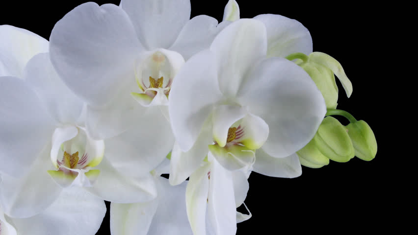 Time-lapse of opening white orchid 11a1 in PNG+ format with alpha transparency channel isolated on black background.