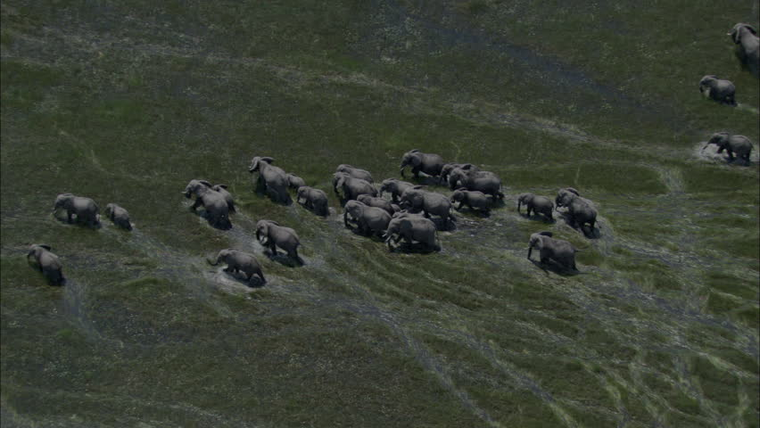 Elephants Marsh Migration Wildlife Marching. A spectacular look at a heard of elephants in the midst of migrating. The large number of elephants march through wet marshlands. | Shutterstock HD Video #5515325