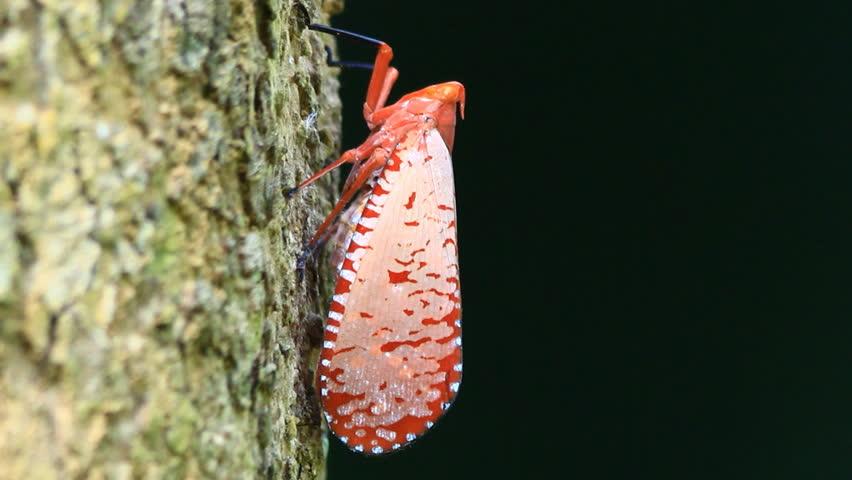Redwing Barkhopper (Aphaena submaculata) | Shutterstock HD Video #5560655