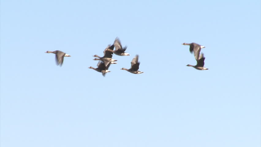 Flying group of White-fronted Geese with sky background. Taken at Durankulak and Shabla lakes, Bulgaria.