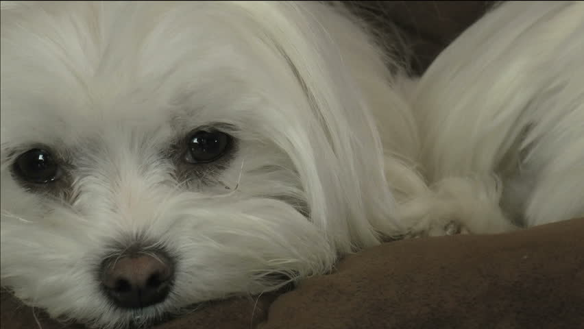 Adorable, tired, white, fluffy Maltese dog eyes open, close, about to fall asleep. 1080p