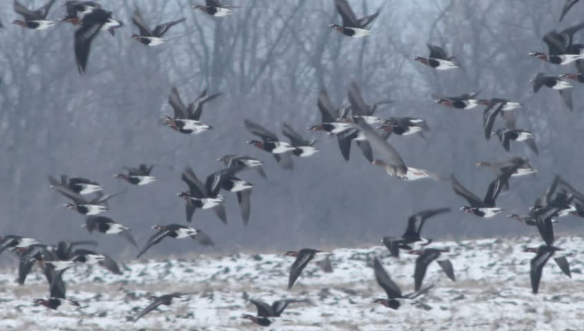 Thousands flying geese over a winter snow field. Hundreds of White-fronted and Red-breasted geese flying and eating in to the field.