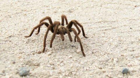 A Desert Tarantula, Aphonopelma Iodium, walks across a dirt road in Joshua Tree National Park