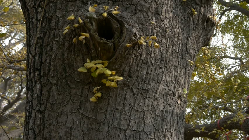 Thick trunk,lush ginkgo tree in breeze,Trunk,forest,woods. gh2_00165 | Shutterstock HD Video #5623145