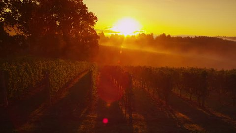Beautiful vineyard at sunrise, Oregon. Shot on RED EPIC for high quality 4K, UHD, Ultra HD resolution.