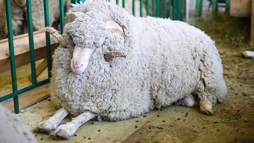 Woolly Sheep lying on the floor at agricultural exhibition