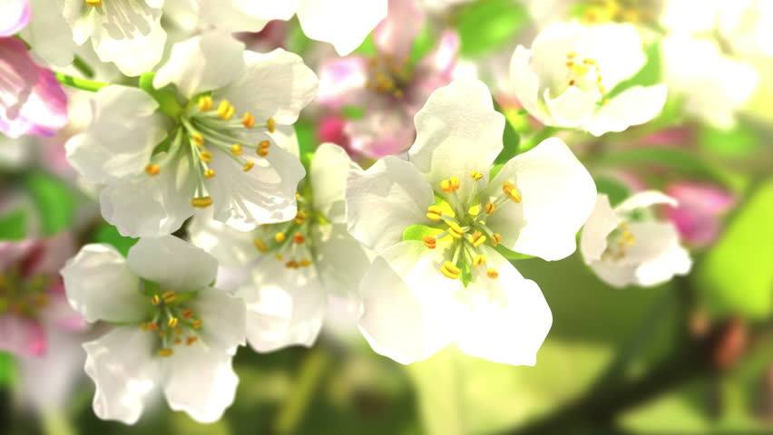4k blossoming apple-tree, beautiful 3d animation. see also the new corrected version with butterflies ClipID 9191579 #5636978