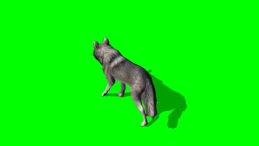 wolf walks fast - seperated on green screen  #5644985