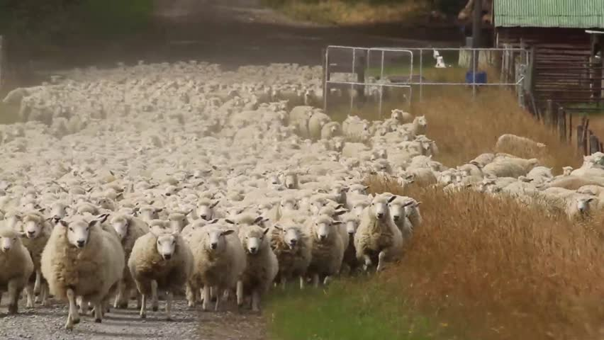 Sheep herd moving towards us
