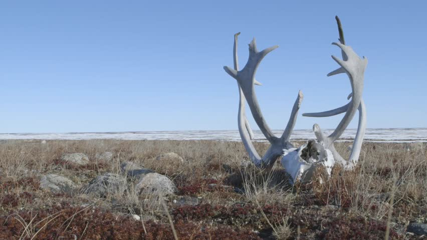 Caribou skull and antlers lying upon the frozen tundra.