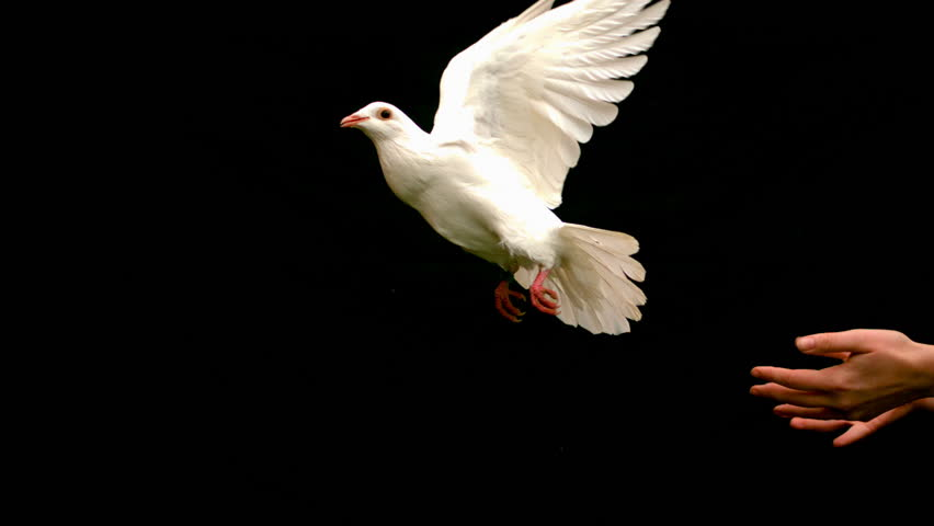 Hands releasing a dove on black background in slow motion