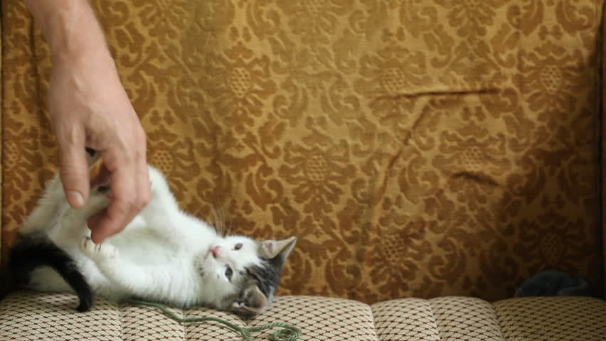 Small crossbred  kitten playing with (my) human hand. no videografer was harmed during the shooting :)