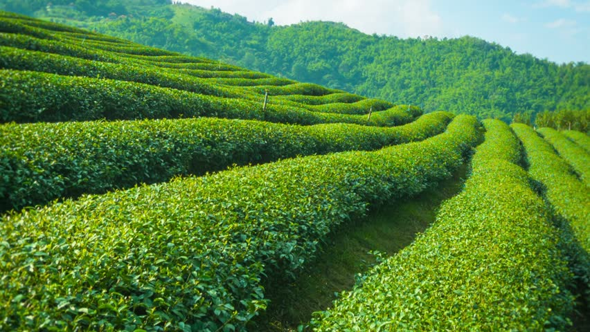 Video 1920x1080 - Growing tea close up. Highlands of Thailand