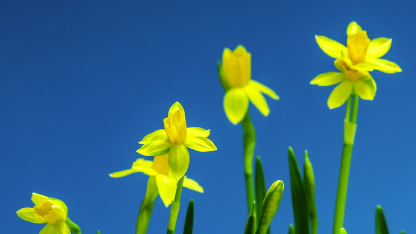 Easter flowers yellow daffodils blooming stock footage video 100 browse video categories mightylinksfo