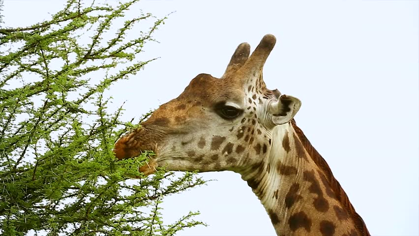 A WILD Masai Giraffe (Giraffa camelopardalis tippelskirchi) feeds on Acacia Tree in the Serengeti, Tanzania, Africa. This is the largest subspecies of giraffe & the tallest land mammal in the world.