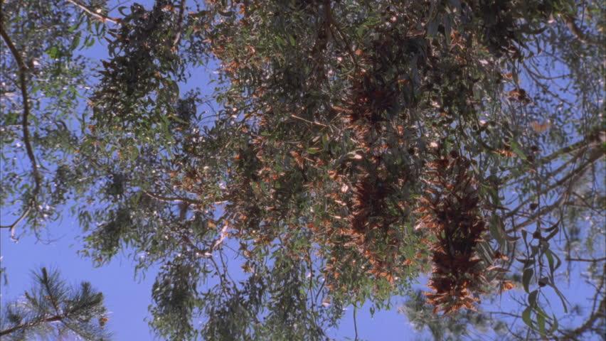cluster of butterflies on pine needles tilt down and tilt up