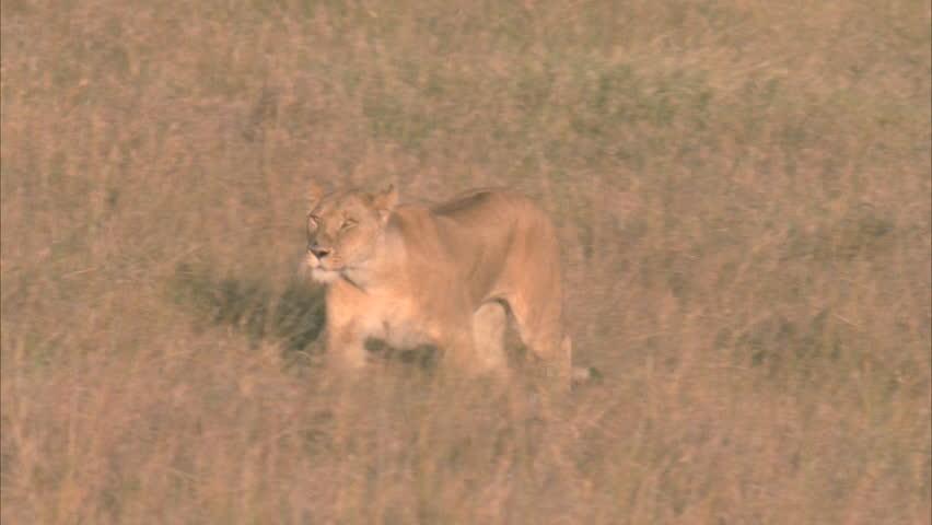 lioness runs through grasslands #5756435