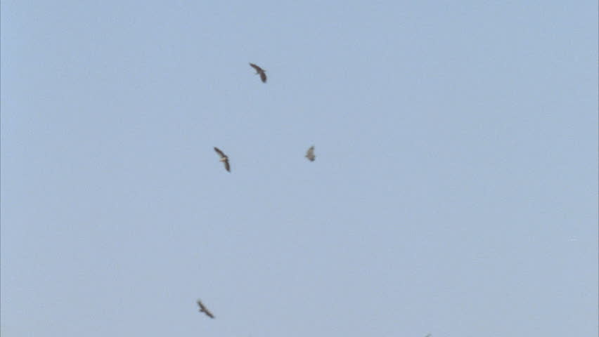 flock of vultures circling against blue sky above unseen carcass