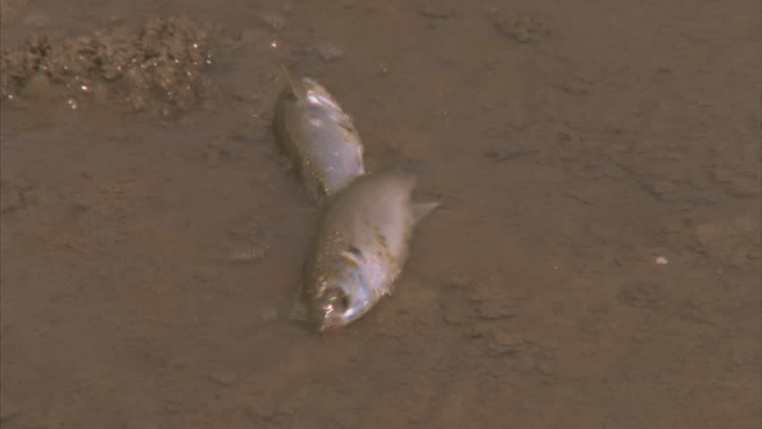 Fish Dying On River Bank Stock Footage Video (100% Royalty-free) 5757785    Shutterstock