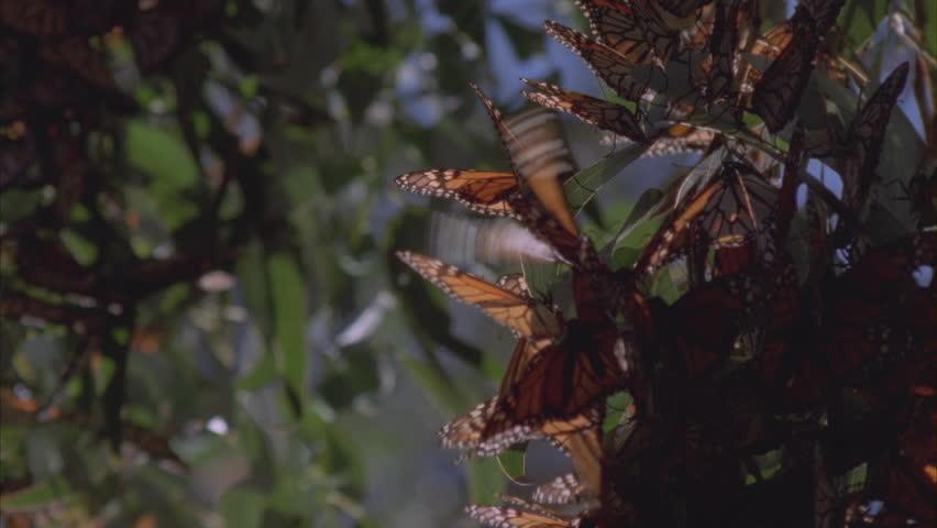 cluster of butterflies on pine needles tilt down