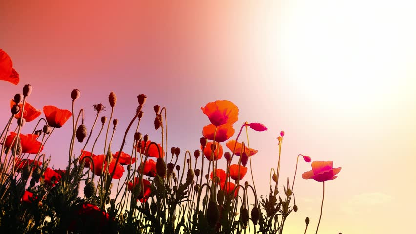 Beautiful Poppies Flowers On the Stock Footage Video (100% Royalty-free)  5780315 | Shutterstock