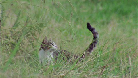 Slow motion of a Feral Cat jumping in the grass