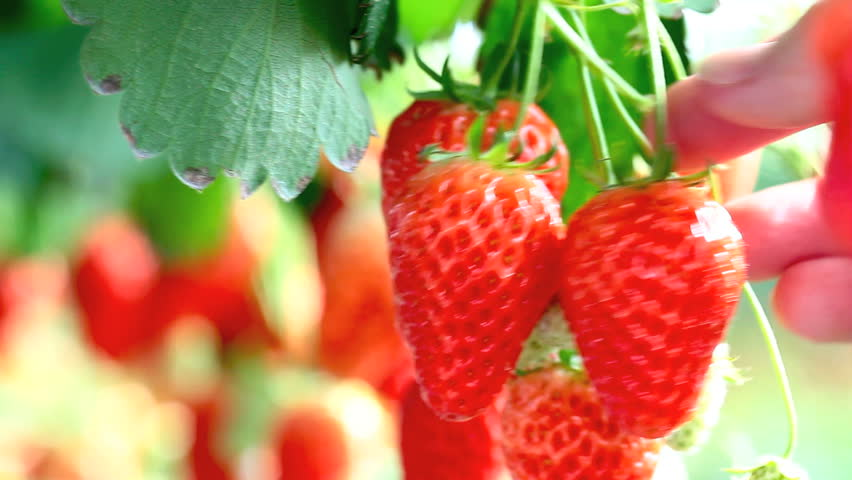 Strawberries growing in a greenhouse. | Shutterstock HD Video #5905565