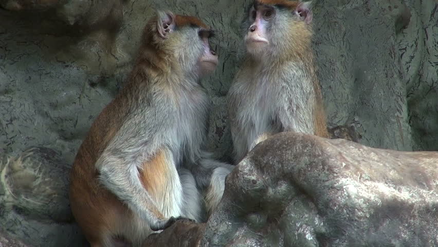 Couple of monkeys who care and give their attention | Shutterstock HD Video #5927345