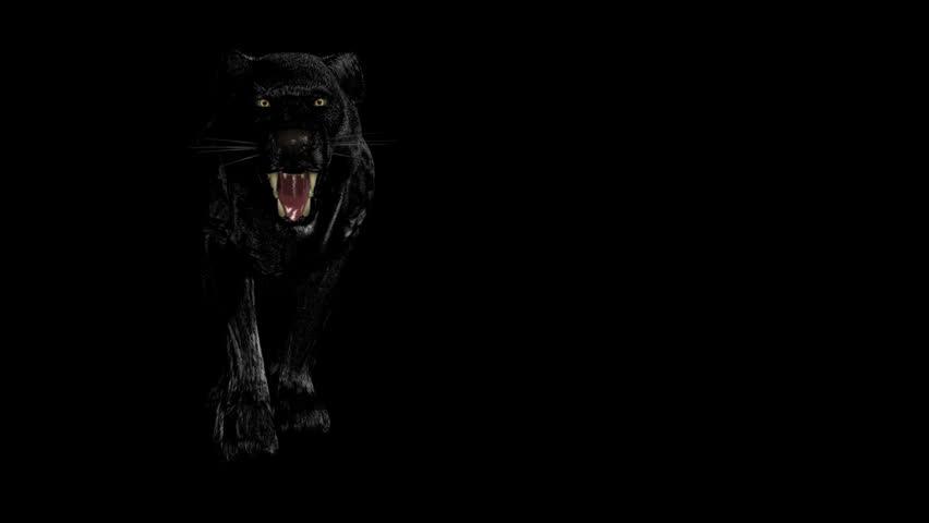 Black panther stock footage video shutterstock wild black panther voltagebd Images