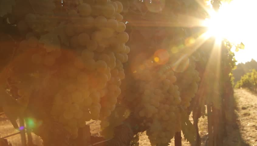 Vineyard with Heavy Lens Flare in Geyserville, California