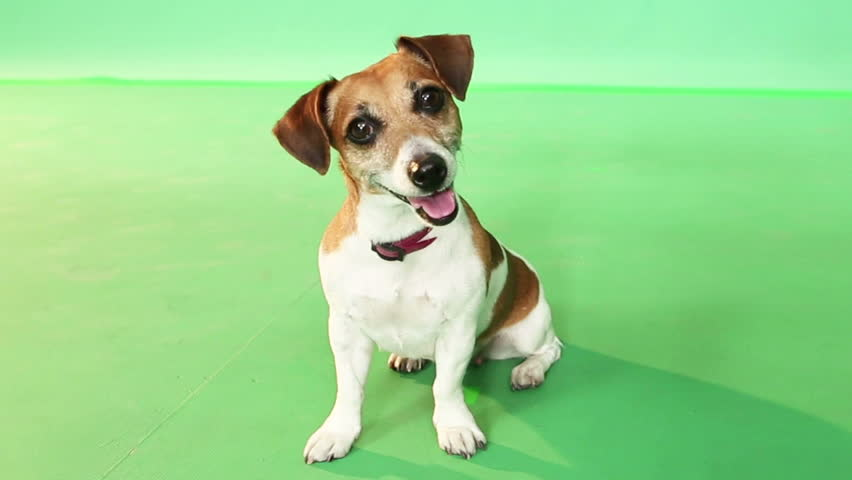 Cute funny Jack Russell Terrier dog sitting on green chroma key and looking at the camera and listens attentively