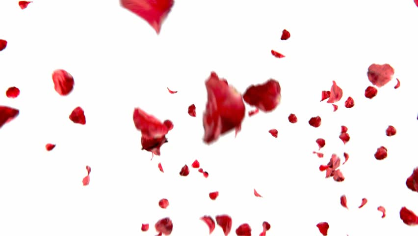 falling petals roses 3d animation on white and black background with alpha channel