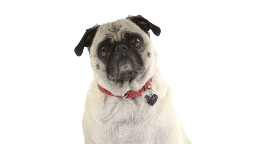 Two shots (one close up, one wide) of a cute pug dog listening while doing head tilts. | Shutterstock HD Video #6223586