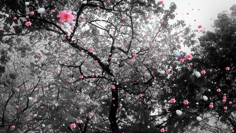 4K Springtime Blossoming Trees Flowers and Petals Falling lowangle real footage and cg composite 4K 3840 x 2160 ultra high defintion