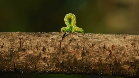 An Inch worm making its way across a tree branch.  This macro clip can symbolize concepts of persistence, achievement, and determination