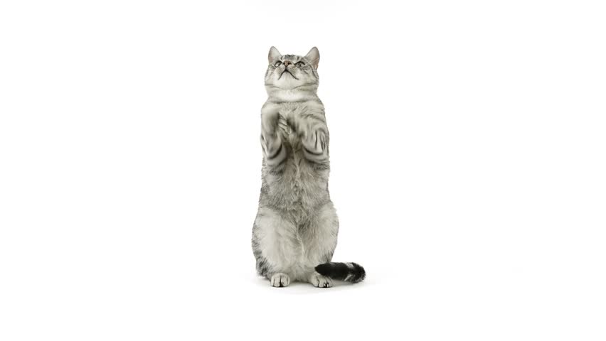 Cat clapping paws, asking for food, looks away disappointed | Shutterstock HD Video #6307109
