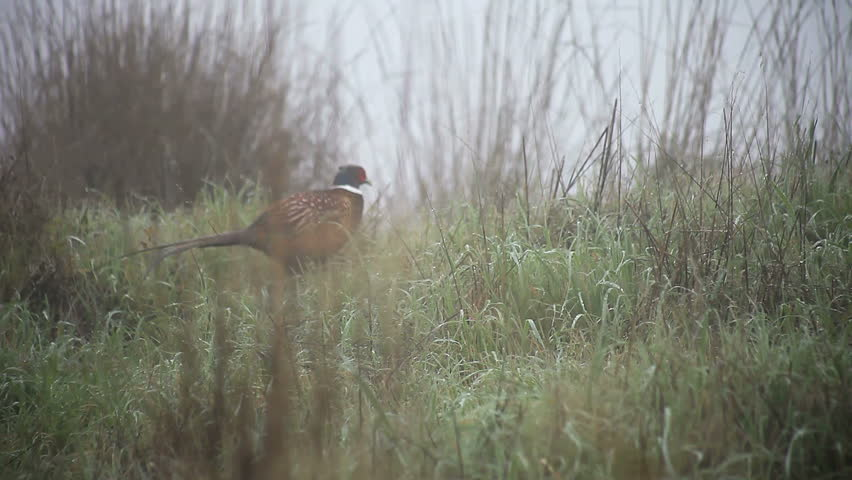 a pheasant hurries away on a foggy morning
