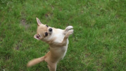 short haired chihuahua jumping on two legs on the grass- tripod, 1920x1080