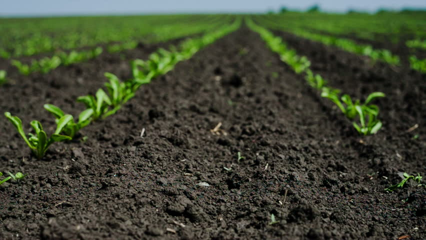 Field with sugar-beet