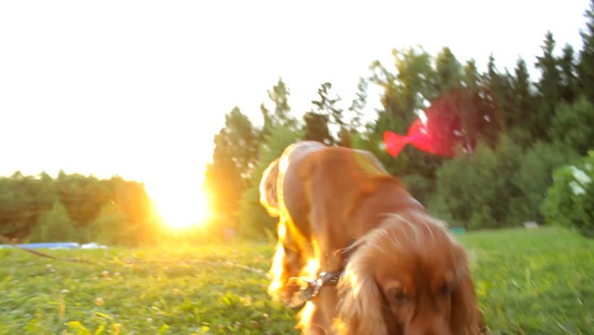 Dog barking in the garden in summer close-up, sun rays