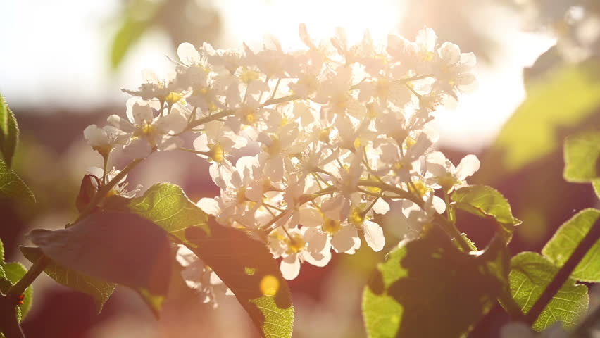 Sun Shines Through the Flowers Stock Footage Video (100% Royalty ... 00b4b7c21599e