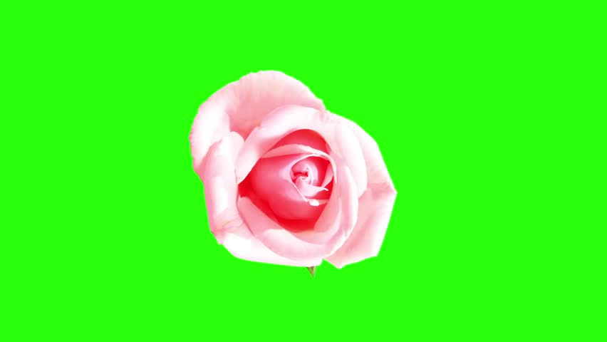 Blooming Green Roses Flower Buds Green Screen, FULL HD