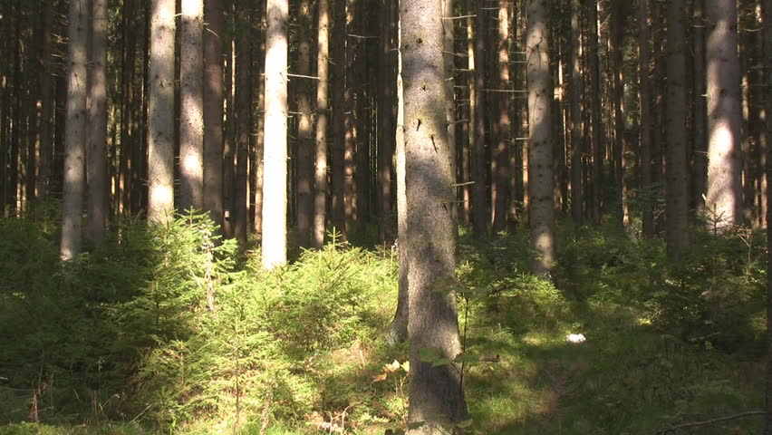 Forest - Spruce forest  Coniferous trees, Genus Picea- Typical Austrian alp-forest  #6411875