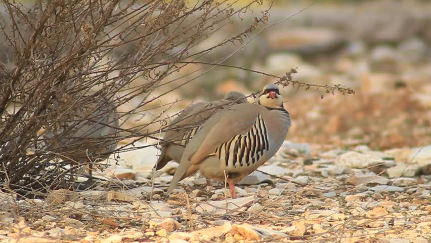 Header of chukar