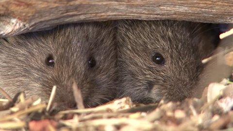 Prairie Vole Pair Microtus Closeup