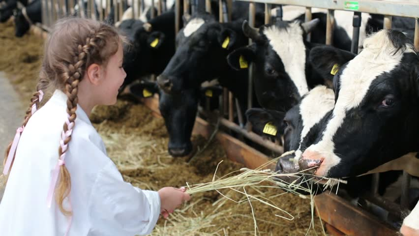 Little girl in white robe giving hay to cows at dairy farm